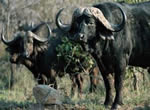 Buffalo viewing at Garden Route Game Lodge