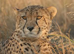 Cheetah viewing at Garden Route Game Lodge
