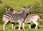 Zebra viewing at Garden Route Game Lodge