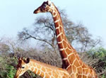 Giraffe viewing at Garden Route Game Lodge